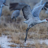 Sandhill Crane Lifting Off from Marsh<br /> (Grus canadensis)<br /> <br /> Bosque del Apache<br /> Socorro, NM