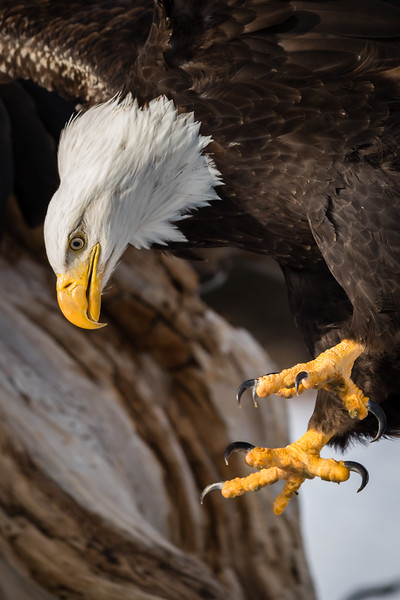 Eagles of Kachemak Bay