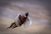 Ring-necked Pheasant<br /> <br /> (Phasianus colchicus)