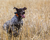 Hunting Dog<br /> <br /> Happily Finding Game Birds for Hapless Photographers