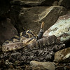 Blacktailed Rattlesnake
