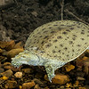 Spiney SoftShelled Turtle