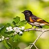American Redstart<br /> <br /> (Setophaga ruticilla)