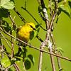Blue-winged Warbler<br /> <br /> (Vermivora pinus)