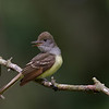Great Crested Flycatcher<br /> <br /> (Myiarchus crinitus)
