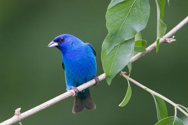 Song Birds of Spring