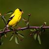 American Goldfinch<br /> <br /> (Carduelis tristis)
