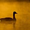 Canada Goose<br /> <br /> (Branta canadensis)