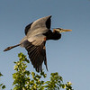 Great Blue Heron<br /> <br /> (Ardea herodias)