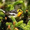 Blackburnian Warbler<br /> <br /> (Dendroica fusca)