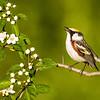 Chestnut-sided Warbler<br /> <br /> (Dendroica pensylvanica)