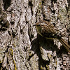 Brown Creeper<br /> <br /> (Certhia americana)