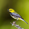 Black-throated Green Warbler<br /> <br /> (Dendroica virens)