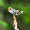 Golden-crowned Kinglet<br /> <br /> (Regulus satrapa)