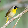 Common Yellowthroat<br /> <br /> (Geothlypis trichas)