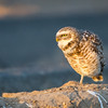 Brurrowing Owl<br /> <br /> (Athene cunicularia)