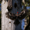Nest Hole Bound<br /> <br /> Pileated Woodpecker<br /> <br /> (Dryocopus pileatus)