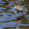 Great Blue Heron<br /> <br /> (Ardea herodias)