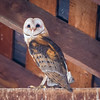 Typical Roof Beam Roost - and Wide Awake.<br /> <br /> Barn Owl<br /> <br /> (Tyto alba)