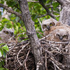 Waiting for Mom to Bring Home Lunch<br /> <br /> Great Horned Owl<br /> <br /> (Bubo virginianus)