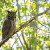 Great Horned Owl<br /> <br /> (Bubo virginianus)