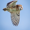 Barn Owl<br /> <br /> (Tyto alba)