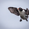 To land...or not to land...?<br /> <br /> Parakeet Auklet <br /> (Aethia psittacula)