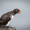 This is MY ledge and don't you forget it...<br /> <br /> Parakeet Auklet <br /> (Aethia psittacula)