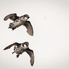 Flying in formation...<br /> <br /> Least Auklet <br /> (Aethia pusilla)