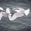 A nesting dispute has escalated to an aerial assault.<br /> <br /> Black-legged Kittiwake<br /> (Rissa tridactyla)