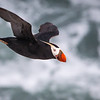 Flying over the sea...<br /> <br /> Tufted Puffin <br /> (fratercula cirrhata)