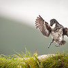 A landing is imminent...<br /> <br /> Least Auklet <br /> (Aethia pusilla)