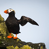 It wasn't me...it was...?<br /> <br /> Tufted Puffin <br /> (fratercula cirrhata)