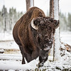 American Buffalo<br /> <br /> (Bison bison)