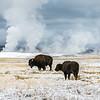 American Buffalo Grazing Near Geysers<br /> <br /> (Bison bison)