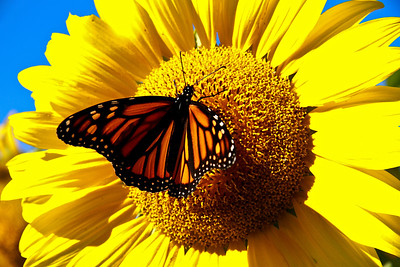 Monarch Morning