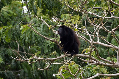 Howler monkey at the Rio Negro river in Costa Rica