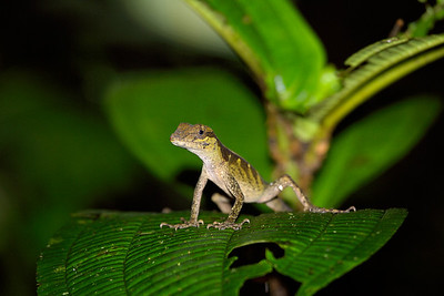 Anole in the forest of Costa Rica