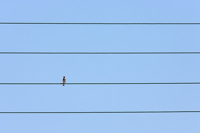 A sparrow on one of the wires
