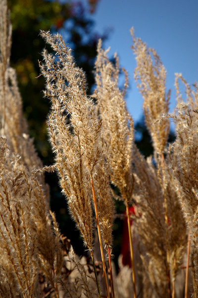 The Chinese reed in our garden this fall