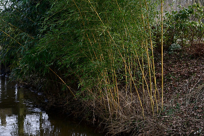 Bamboo in evening light