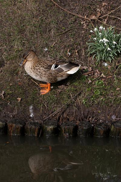 Duck at Gemert Castle