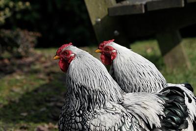 Hens at Gemert Castle
