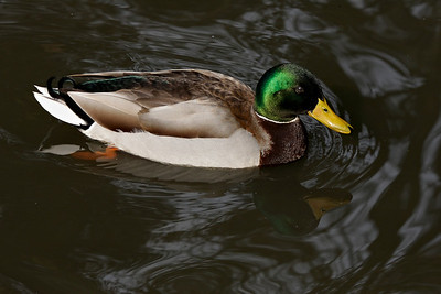 Duck at Gemert Castle