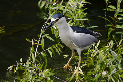 Black-Crowned Nigh-heron