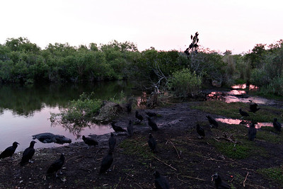 Alligator surrounded by vultures at dawn