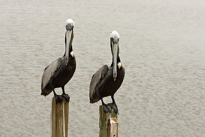 Brown Pelicans in sync