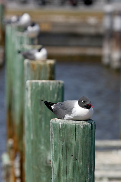 Seagull's resting in Florida's Everglades national park