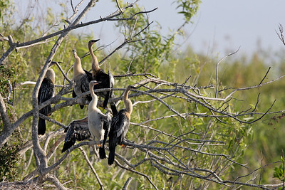 Female Anhinga with a nest full of young ones