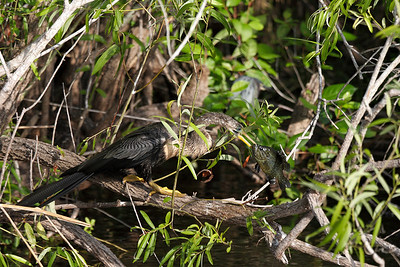 This Female Anhinga has just caught a fish
